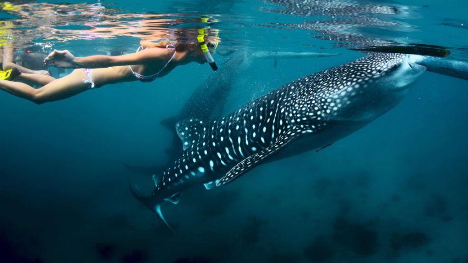 oslub whale shark